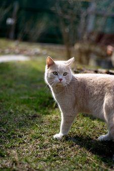 Free British Cat Royalty Free Stock Image - 1283806