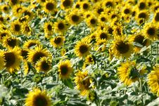 Free Beautiful Sunflower Field Stock Photos - 1283843