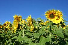 Free Beautiful Sunflowers Royalty Free Stock Photos - 1283848