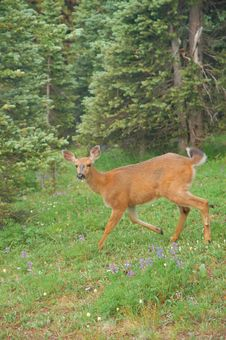 Deer In A Mountain Meadow Royalty Free Stock Photos