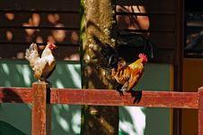 Free Chickens Stock Photos - 1285383