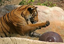 Tiger Play Royalty Free Stock Image