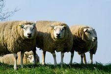 Free Curious Sheep Royalty Free Stock Photos - 1286858
