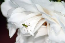 Green Spider On White Rose Stock Images