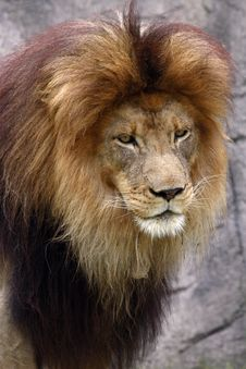 Free Male Lion Royalty Free Stock Photos - 1287358