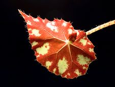 Free Leaf Of Begonia Stock Photos - 1287893