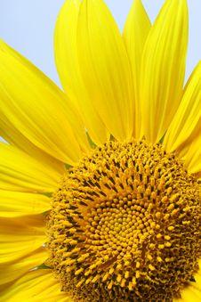 Free Sunflower Stock Photo - 1289190