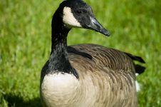 Free Goose Feeding Time Stock Photos - 1289193
