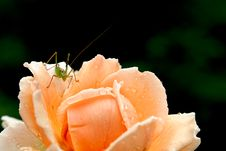 Free The Rose And The Grasshopper Royalty Free Stock Image - 1289396