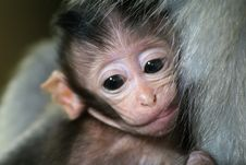 Free Monkey Baby On Mother Royalty Free Stock Image - 1289956