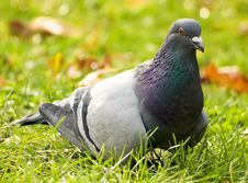 Free Pigeon Portrait Royalty Free Stock Image - 12806836