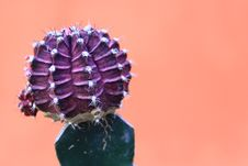 Free Close-up Photo Of Purple Cactus Stock Photography - 128018532