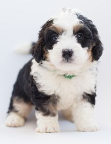Free White And Black Puppy Royalty Free Stock Photography - 128037467