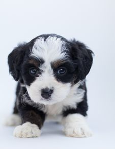 Free Black And White Maltese Puppy Stock Photography - 128037552