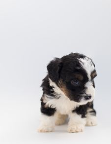 Free Short-coated Black And White Puppy Royalty Free Stock Images - 128037559