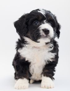 Free White And Black Maltese Puppy Stock Images - 128037564