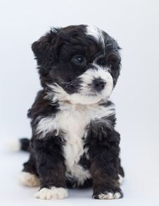 Free White And Black Terrier Royalty Free Stock Images - 128037569