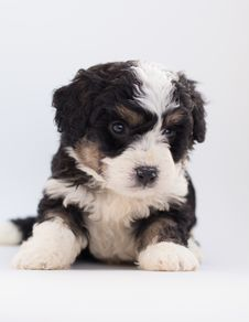 Free Black And White Poodle Puppy Royalty Free Stock Image - 128037596