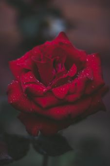 Free Selective Focus Photo Of Red Rose Stock Images - 128037824