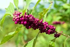 Free American Beautyberry Stock Photography - 128172922