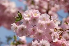 Free Pink, Flower, Blossom, Cherry Blossom Stock Photography - 128257302