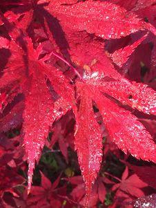 Free Red, Leaf, Autumn, Maple Leaf Stock Photos - 128257373