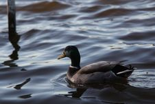 Free Duck, Bird, Water, Water Bird Royalty Free Stock Photography - 128257377