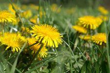 Free Flower, Dandelion, Yellow, Sow Thistles Royalty Free Stock Image - 128257626