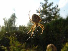 Free Spider, Arachnid, Orb Weaver Spider, Araneus Stock Images - 128257974