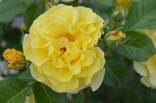 Free Flower, Rose, Yellow, Rose Family Royalty Free Stock Photos - 128357258