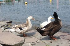 Free Bird, Duck, Water, Water Bird Royalty Free Stock Photo - 128357305