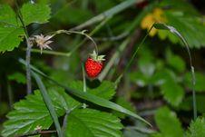Free Strawberries, Strawberry, Vegetation, Leaf Royalty Free Stock Photo - 128357495