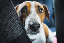 Free Close-up Photo Of Jack Russell Terrier On Vehicle Royalty Free Stock Image - 128399956