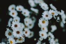 Free Close Up Photo Of White Petaled Chamomile Flowers Royalty Free Stock Photography - 128405177
