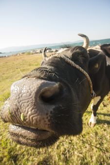 Free Black And White Cattle On Green And Brown Grass Field Royalty Free Stock Photos - 128405258