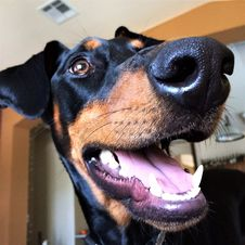 Free Dog, Dog Breed, Dog Like Mammal, Pinscher Royalty Free Stock Photography - 128440067