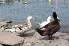 Free Bird, Duck, Water Bird, Water Royalty Free Stock Photo - 128440215
