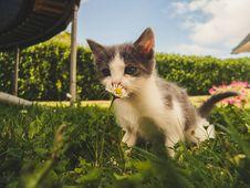 Free White And Grey Kitten Smelling White Daisy Flower Stock Photo - 128558000