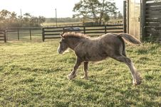 Free Brown Foal Running On Green Grass Royalty Free Stock Photo - 128558115