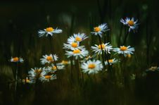Free Selective Focus Photography Of Daisy Flowers Royalty Free Stock Images - 128687259