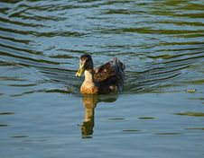 Free Duck On The Water Stock Photography - 128698332