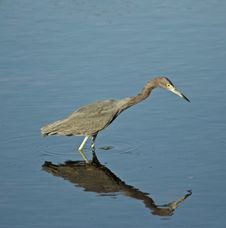 Free Little Blue Heron Stock Images - 128760004