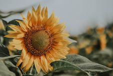 Free Close-Up Photo Of Sunflower Royalty Free Stock Photo - 128808005