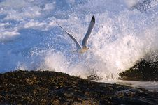 Free Seagull In Flight Royalty Free Stock Photo - 12895915