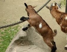 Free Goats, Goat, Fauna, Cow Goat Family Stock Photography - 128951902