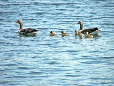 Free Bird, Water Bird, Duck, Water Royalty Free Stock Photos - 128951978