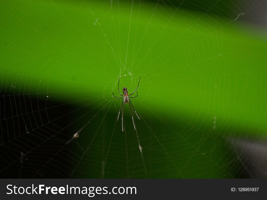 Spider, Invertebrate, Arachnid, Spider Web