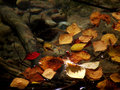 Free Autumn Leaves1 Royalty Free Stock Photography - 1294607