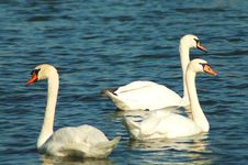 Free Swans In Water Royalty Free Stock Photo - 1290295