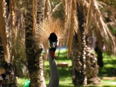 Free Crowned Crane Stock Image - 1293451